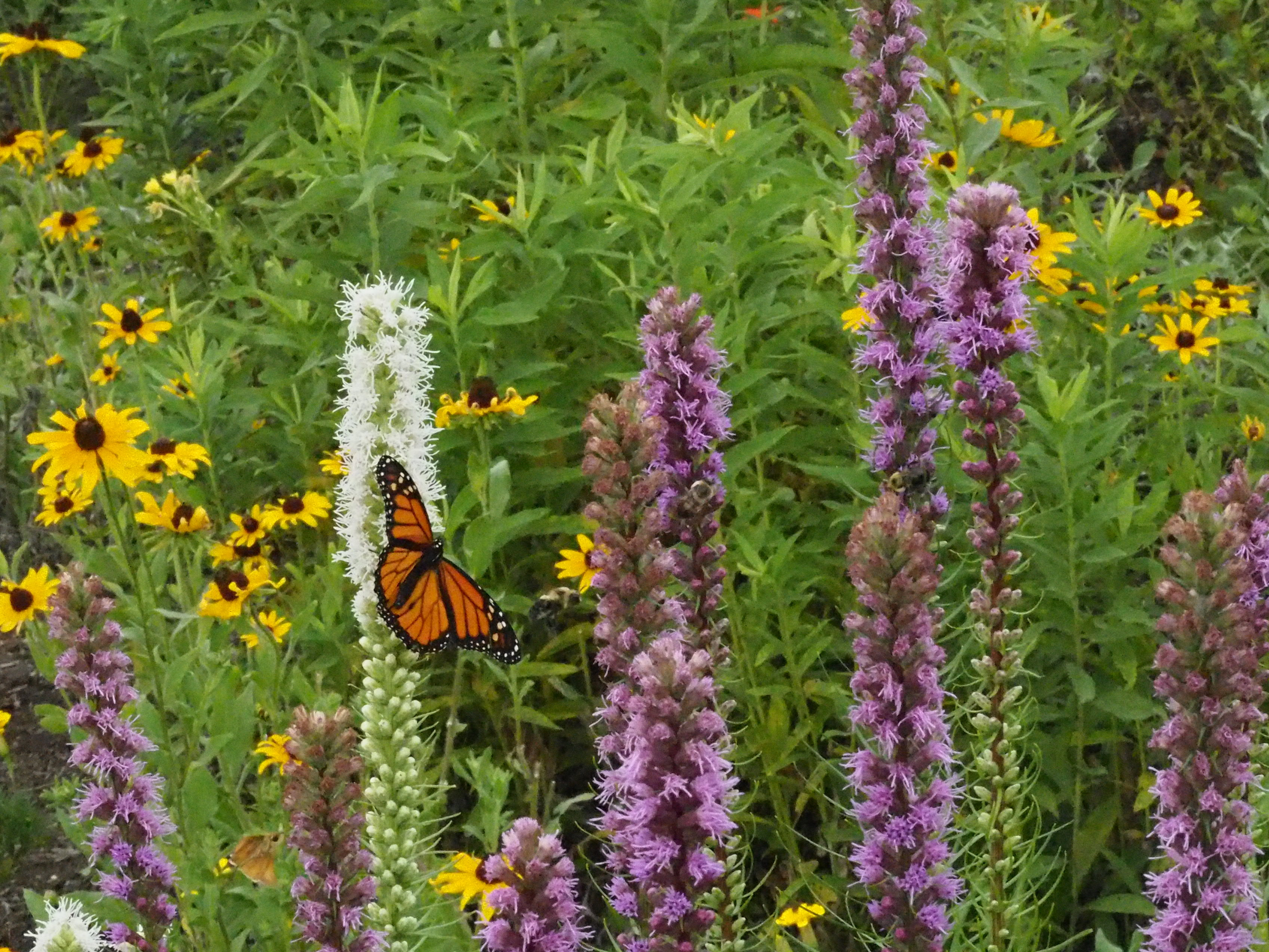 liatris spicata and rudbeckia with monarch